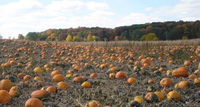 pleasant-valley-llama-farm-pumpkins
