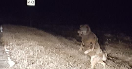 Werewolf in Wisconsin?